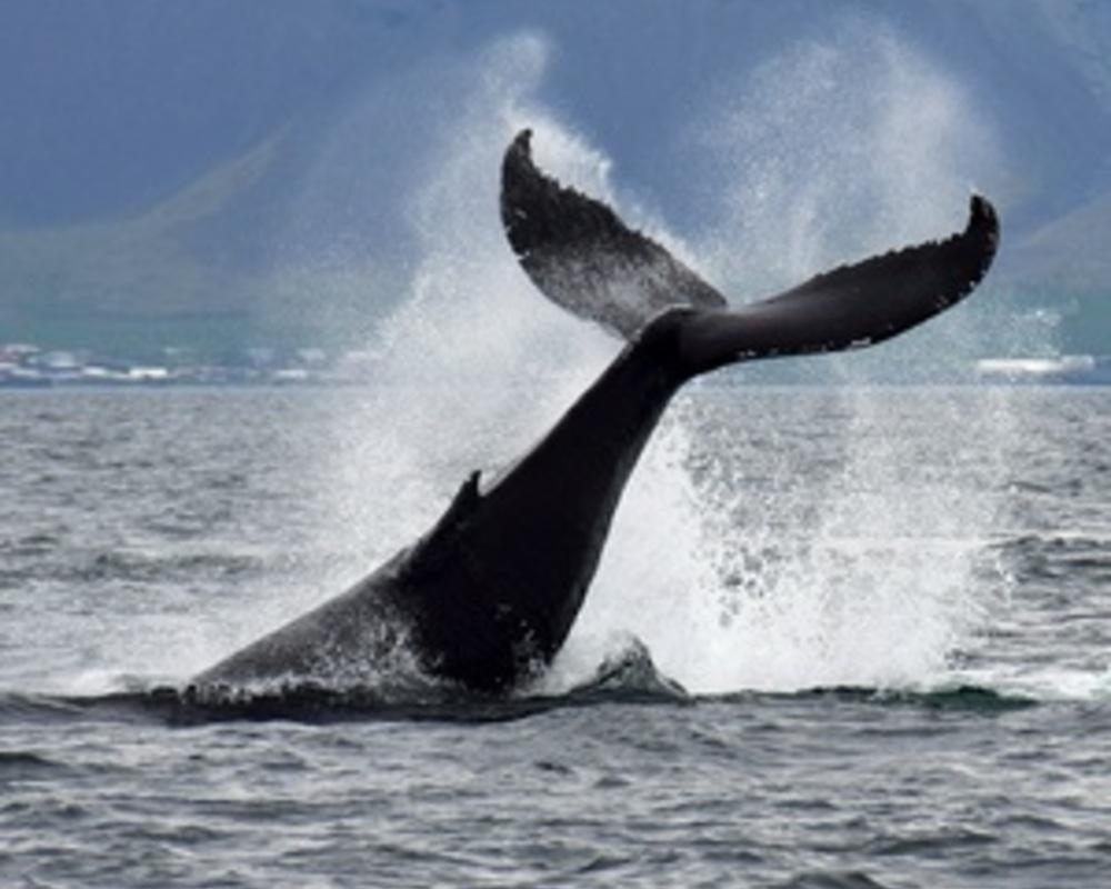 jak velký je velrybí pták